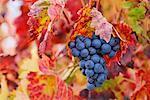 Gros plan des raisins de cuve