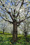 Cherry Tree, Bavière, Allemagne