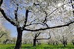 Cerisiers arbres, Bavière, Allemagne