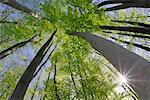 Regardant vers le haut les arbres, Bavière, Allemagne