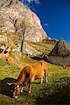 Vaches dans le champ, Somiedo, Asturies, Espagne