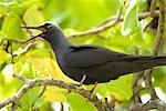 Noir Noddy Sterne Calling, Wilson Island, Queensland, Australie