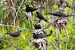 Noir Noddy sternes nicheuses, Wilson Island, Queensland, Australie
