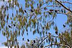 Guifette noire d'Oui-Oui en arbre, Wilson Island, Queensland, Australie