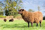 Sheep in Field, Devon, England