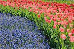 Tulips and Blue Bells, Keukenhof Gardens, Netherlands