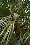 Singes dans l'arborescence, Parc National Manuel Antonio, Province de Puntarenas, Costa Rica