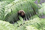 Réunion, fougères arborescentes, gros plan sur un chou