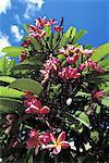 Réunion, frangipanier floraison
