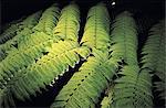 Réunion, fougères arborescentes, rétro-éclairé de nuit