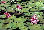 Indonesia, Java, waterlilies