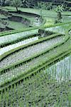 Indonesia, Bali, near Pejeng, paddy fiels
