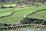 Indonesia, Java, planting rice
