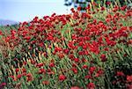 Coquelicots rouges d'Espagne, Andalousie, au printemps