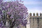 Espagne, arbre de jacaranda Andalousie, Jerez de la Frontera, l'épanouissement de l'Alcazar