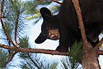 Black Bear Cub in Tree, Minnesota, USA