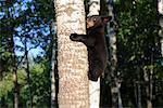 Black Bear Cub Climbing Tree, Minnesota, USA