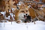 Red Fox in Winter, Minnesota, USA