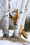Portrait of Red Fox, Minnesota, USA