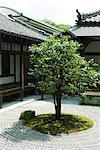 Tree in Japanese rock garden, temple in background