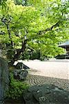 Tree in Japanese rock garden