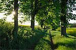 Sentier bordé d'arbres, Mecklembourg-Poméranie occidentale, Allemagne