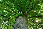 Flachwinkelansicht von Pferdekastanienbaum
