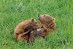 Femelle ours brun oursons de soins infirmiers