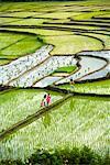Rice Terraces, Sumatra, Indonesia