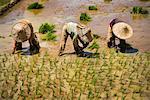 Travailleurs en riz Paddy, ouest de Sumatra, Indonésie