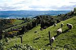 Sheep Grazing on Hillside, Chiloe Island, Chile