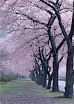 Rangée d'arbres de cherryblossom