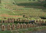 Image de la saison de récolte du riz