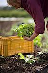 Close up of farmer picking lettuce