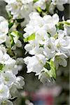 Bloosoming arbre au printemps, Toronto, Ontario, Canada