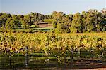 Vineyard, Margaret River, Western Australia, Australia