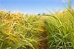 Gros plan du champ de blé