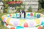 Dog sitting in a backyard baby pool.