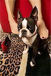 Frau reiben Boston Terrier mit Füßen