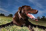 Portrait of Chocolate Labrador Retriever
