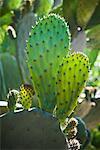 Gros plan de Cactus, Luther Burbank maison et jardins, Santa Rosa, Californie, USA