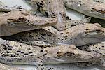 Jeunes Crocodiles, territoire du Nord, Australie