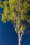 Ghost Gum Tree, Northern Territory, Australia
