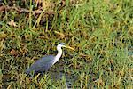 Pied Heron, Parry Lagoons, Wyndham, Kimberley, Western Australia, Australia