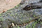 Crocodile marin, territoire du Nord, Australie