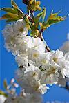 Floraison d'arbre fruitier