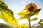 Sunflower Farm, Irvine, California, USA