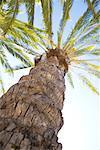 Phoenix Palm Tree, Hollywood, California, USA