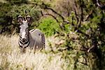 Zebra, Samburu National Park, Kenya, Africa