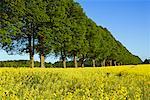 Tilleuls et champ de Canola, Plon, Schleswig-Holstein, Allemagne